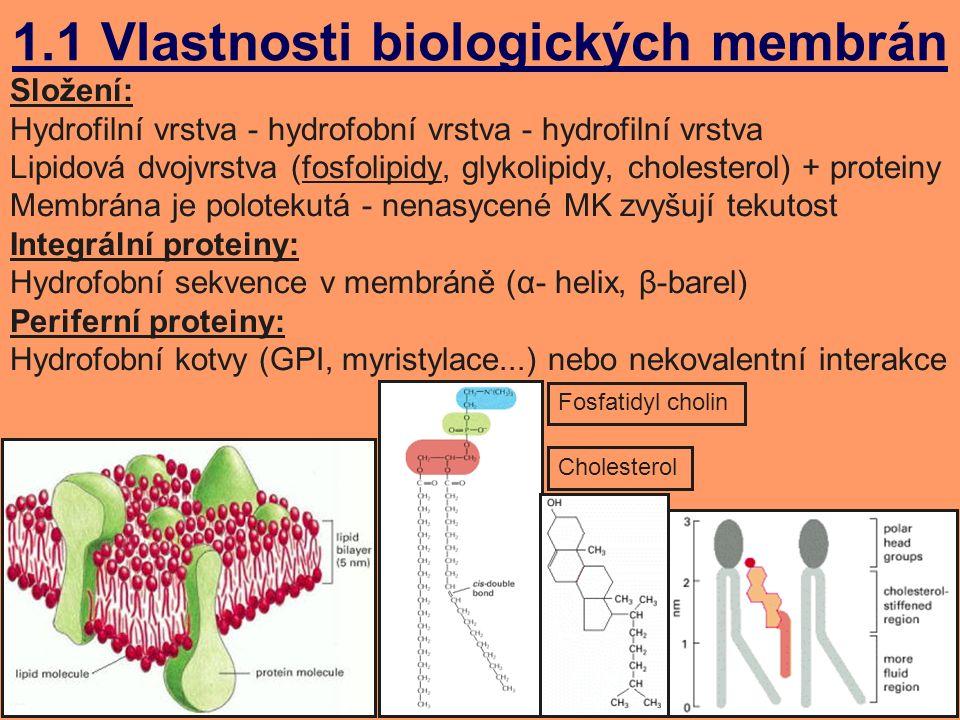 1.1 Vlastnosti biologických membrán Složení: Hydrofilní vrstva - hydrofobní vrstva - hydrofilní vrstva Lipidová dvojvrstva (fosfolipidy, glykolipidy, cholesterol) + proteiny Membrána je polotekutá - nenasycené MK zvyšují tekutost Integrální proteiny: Hydrofobní sekvence v membráně (α- helix, β-barel) Periferní proteiny: Hydrofobní kotvy (GPI, myristylace...) nebo nekovalentní interakce Fosfatidyl cholin Cholesterol