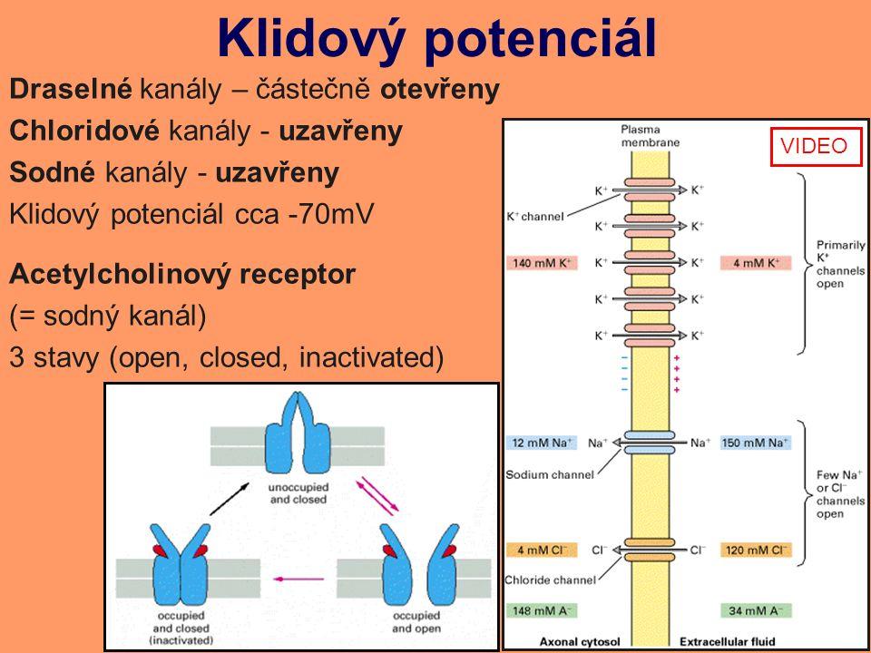 Klidový potenciál Draselné kanály – částečně otevřeny Chloridové kanály - uzavřeny Sodné kanály - uzavřeny Klidový potenciál cca -70mV Acetylcholinový receptor (= sodný kanál) 3 stavy (open, closed, inactivated) VIDEO
