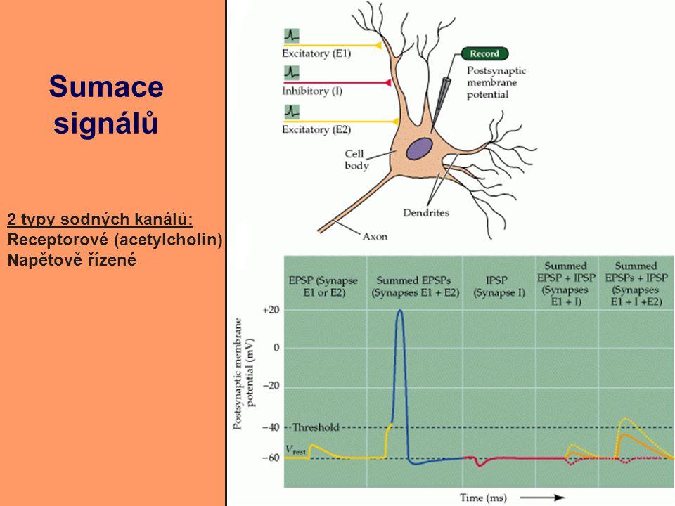 Sumace signálů 2 typy sodných kanálů: Receptorové (acetylcholin) Napětově řízené