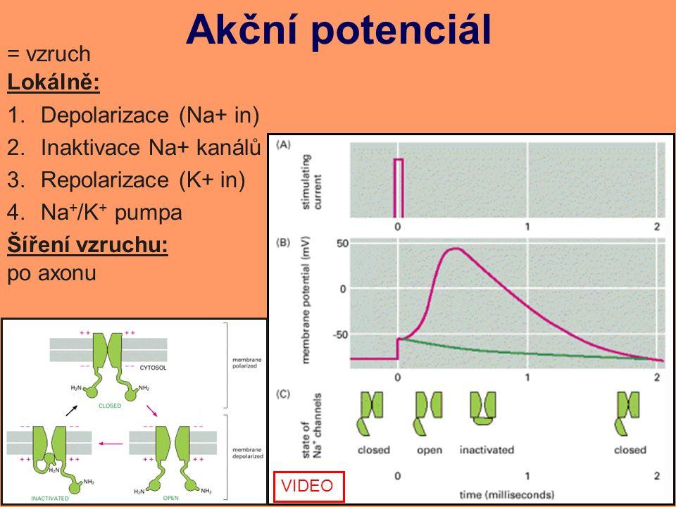 Akční potenciál = vzruch Lokálně: 1.Depolarizace (Na+ in) 2.Inaktivace Na+ kanálů 3.Repolarizace (K+ in) 4.Na + /K + pumpa Šíření vzruchu: po axonu VIDEO