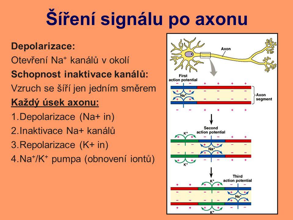Šíření signálu po axonu Depolarizace: Otevření Na + kanálů v okolí Schopnost inaktivace kanálů: Vzruch se šíří jen jedním směrem Každý úsek axonu: 1.Depolarizace (Na+ in) 2.Inaktivace Na+ kanálů 3.Repolarizace (K+ in) 4.Na + /K + pumpa (obnovení iontů)