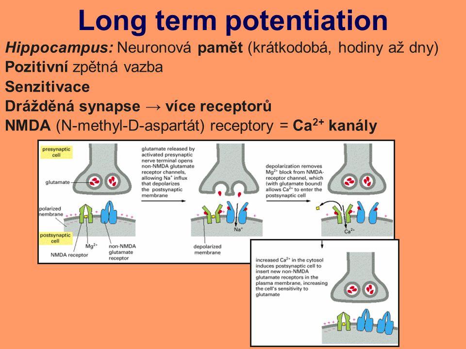 Long term potentiation Hippocampus: Neuronová pamět (krátkodobá, hodiny až dny) Pozitivní zpětná vazba Senzitivace Drážděná synapse → více receptorů NMDA (N-methyl-D-aspartát) receptory = Ca 2+ kanály
