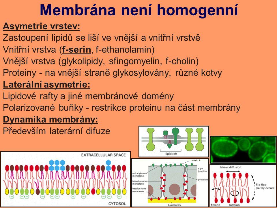 Membrána není homogenní Asymetrie vrstev: Zastoupení lipidů se liší ve vnější a vnitřní vrstvě Vnitřní vrstva (f-serin, f-ethanolamin) Vnější vrstva (glykolipidy, sfingomyelin, f-cholin) Proteiny - na vnější straně glykosylovány, různé kotvy Laterální asymetrie: Lipidové rafty a jiné membránové domény Polarizované buňky - restrikce proteinu na část membrány Dynamika membrány: Především laterární difuze