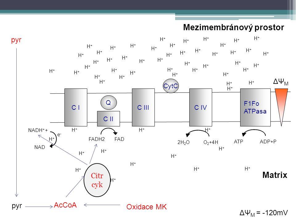 C IC IC IIIC IV F1Fo ATPasa C II Q CytC e-e- H+H+ H+H+ NADH + + H+H+ H+H+ NAD H+H+ H+H+ Mezimembránový prostor Matrix H+H+ H+H+ H+H+ H+H+ H+H+ H+H+ H+H+ H+H+ H+H+ H+H+ H+H+ H+H+ H+H+ H+H+ H+H+ H+H+ H+H+ H+H+ H+H+ H+H+ H+H+ H+H+ H+H+ H+H+ H+H+ H+H+ H+H+ H+H+ H+H+ H+H+ H+H+ H+H+ H+H+ H+H+ H+H+ H+H+ H+H+ H+H+ H+H+ H+H+ H+H+ H+H+ H+H+ H+H+ H+H+ H+H+ H+H+ H+H+ H+H+ H+H+ ADP+PATPO 2 +4H2H 2 O H+H+ H+H+ ΔΨ M ΔΨ M = -120mV FADH2FAD pyr Citr cyk AcCoA pyr Oxidace MK
