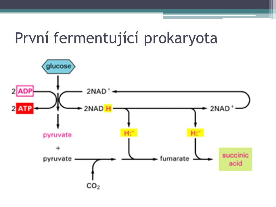 První fermentující prokaryota