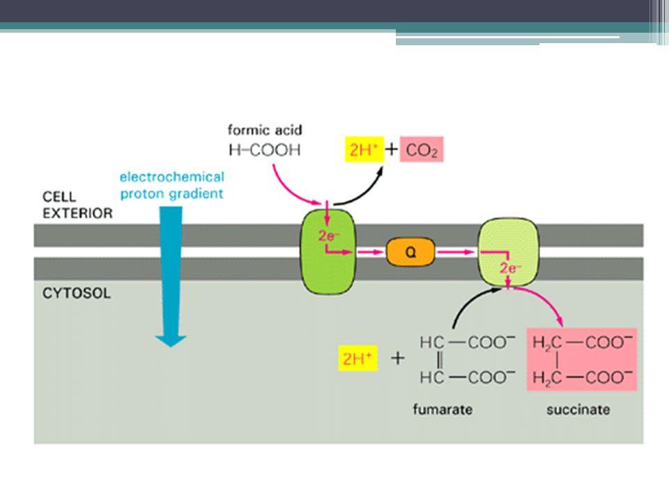 Heteroplazmie Mt DNA = 10x rychlejší mutace oproti nDNA (1000 mt DNA v typické buňce) Relaxovaná replikace (nezávislá na S-fázi), náhodný výběr, která molekula se replikuje U nedělících se tkání (CNS, sval) se mutace mtDNA kumulují ▫U rychle se dělících tkání jsou bb s méněcennou repirací eliminovány apoptózou (Stewart, PLoS,2008) Normální i nádorové tkáně obsahují významné % heteroplazmických bb.