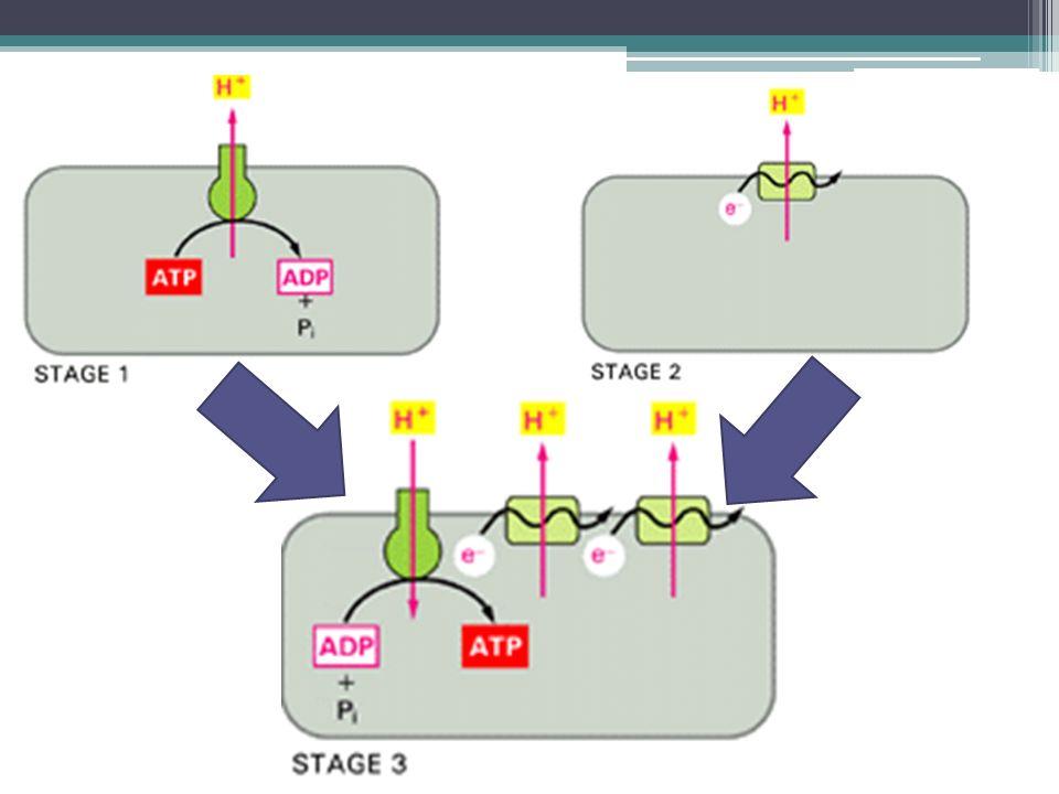 """Variabilita lidské mt DNA Neutrální mutace (D-loop): ▫Kumulují se v čase (""""biologické hodiny ) ▫Analýza polymorfismů umožňuje sestavit příslušnost k haploskupině Kritika: ▫Nejednotná kalibrace ▫Možné selekční tlaky, heteroplazmie"""