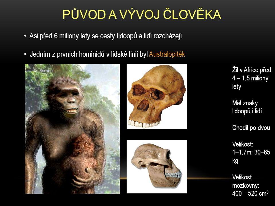 PŮVOD A VÝVOJ ČLOVĚKA Prvním člověkem byl člověk zručný (Homo habilis) Obýval východní Afriku před 2,3–1,4 miliony lety Měl již více lidských znaků (hlavně větší mozek a jemnější chrup) Velikost: 1,3 m; 30–40 kg Velikost mozkovny: 650 - 750 cm 3 Používal také jednoduché nástroje