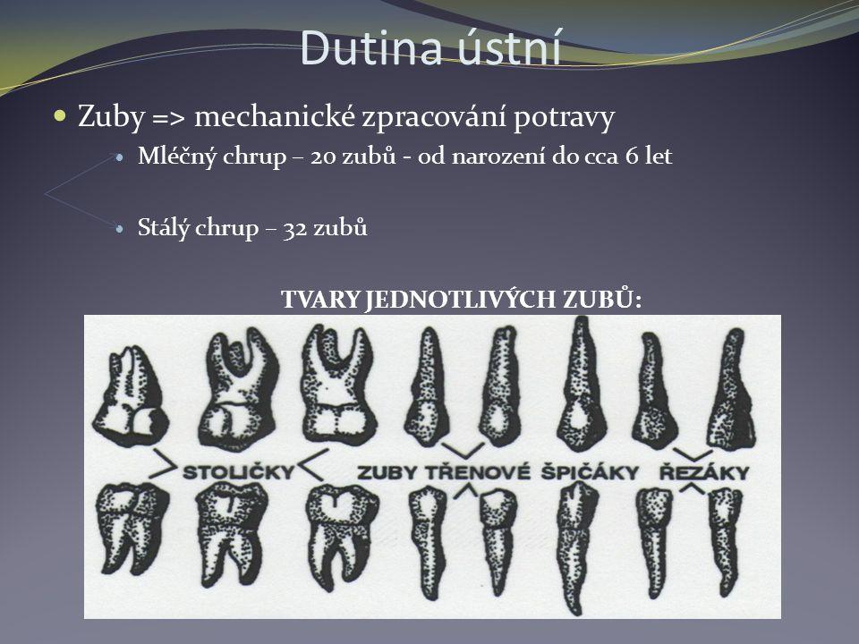 Dutina ústní Zuby = ˃ mechanické zpracování potravy Mléčný chrup – 20 zubů - od narození do cca 6 let Stálý chrup – 32 zubů TVARY JEDNOTLIVÝCH ZUBŮ: