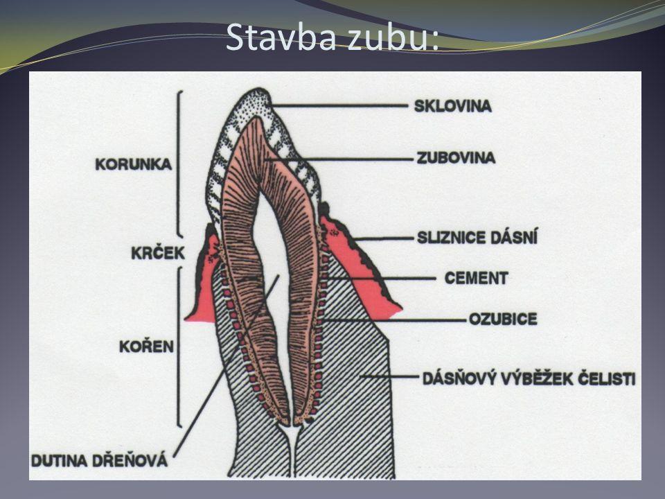 Stavba zubu: