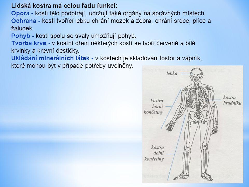 Lidská kostra má celou řadu funkcí: Opora - kosti tělo podpírají, udržují také orgány na správných místech.