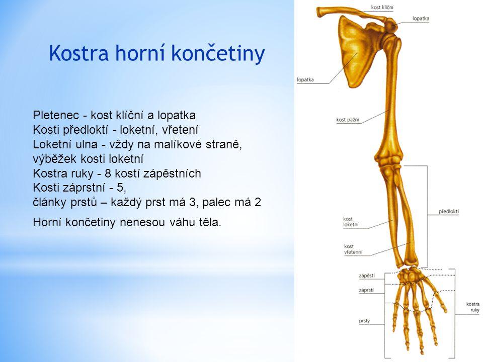 Kostra horní končetiny Pletenec - kost klíční a lopatka Kosti předloktí - loketní, vřetení Loketní ulna - vždy na malíkové straně, výběžek kosti loketní Kostra ruky - 8 kostí zápěstních Kosti záprstní - 5, články prstů – každý prst má 3, palec má 2 Horní končetiny nenesou váhu těla.