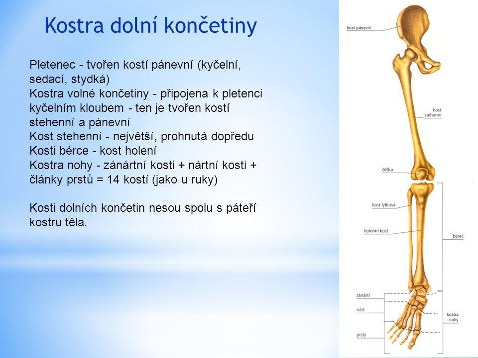 Kostra dolní končetiny Pletenec - tvořen kostí pánevní (kyčelní, sedací, stydká) Kostra volné končetiny - připojena k pletenci kyčelním kloubem - ten je tvořen kostí stehenní a pánevní Kost stehenní - největší, prohnutá dopředu Kosti bérce - kost holení Kostra nohy - zánártní kosti + nártní kosti + články prstů = 14 kostí (jako u ruky) Kosti dolních končetin nesou spolu s páteří kostru těla.