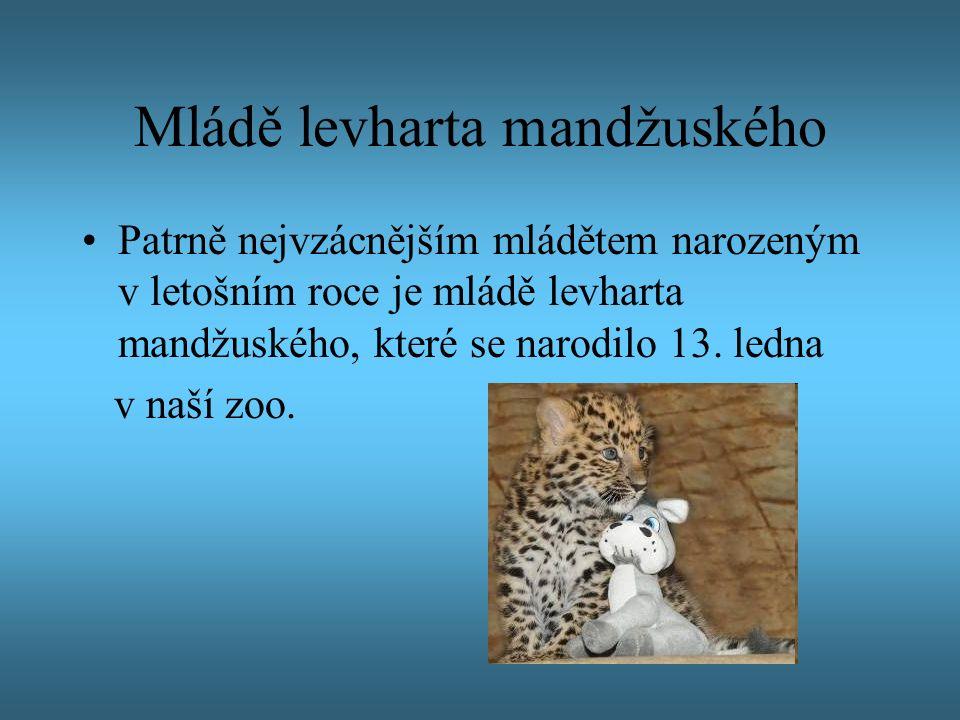Mládě levharta mandžuského Patrně nejvzácnějším mládětem narozeným v letošním roce je mládě levharta mandžuského, které se narodilo 13. ledna v naší z