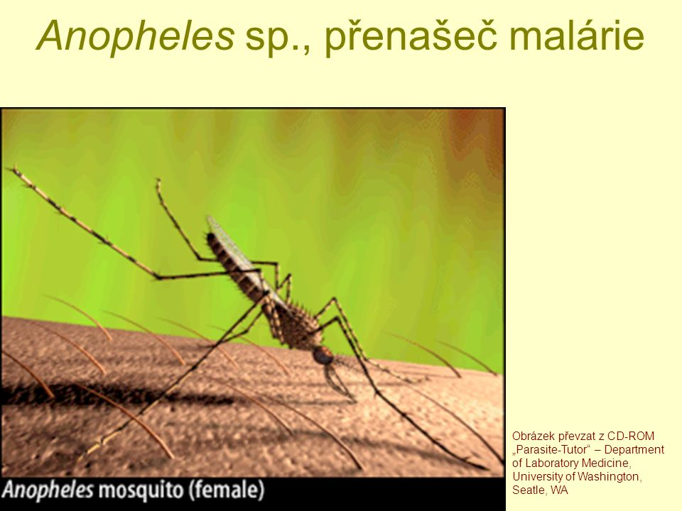 "Anopheles sp., přenašeč malárie Obrázek převzat z CD-ROM ""Parasite-Tutor – Department of Laboratory Medicine, University of Washington, Seatle, WA"