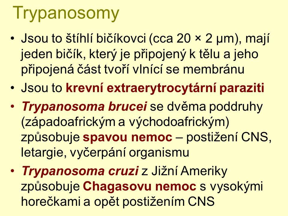 Trypanosomy Jsou to štíhlí bičíkovci (cca 20 × 2 µm), mají jeden bičík, který je připojený k tělu a jeho připojená část tvoří vlnící se membránu Jsou to krevní extraerytrocytární paraziti Trypanosoma brucei se dvěma poddruhy (západoafrickým a východoafrickým) způsobuje spavou nemoc – postižení CNS, letargie, vyčerpání organismu Trypanosoma cruzi z Jižní Ameriky způsobuje Chagasovu nemoc s vysokými horečkami a opět postižením CNS