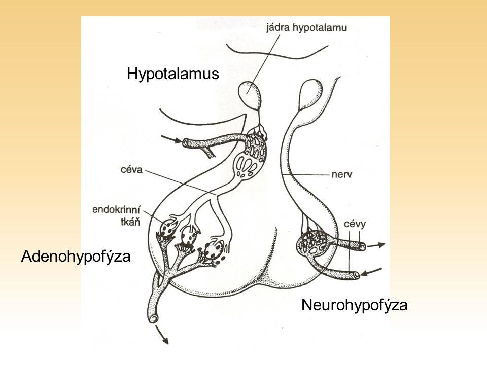 Hypotalamus Adenohypofýza Neurohypofýza