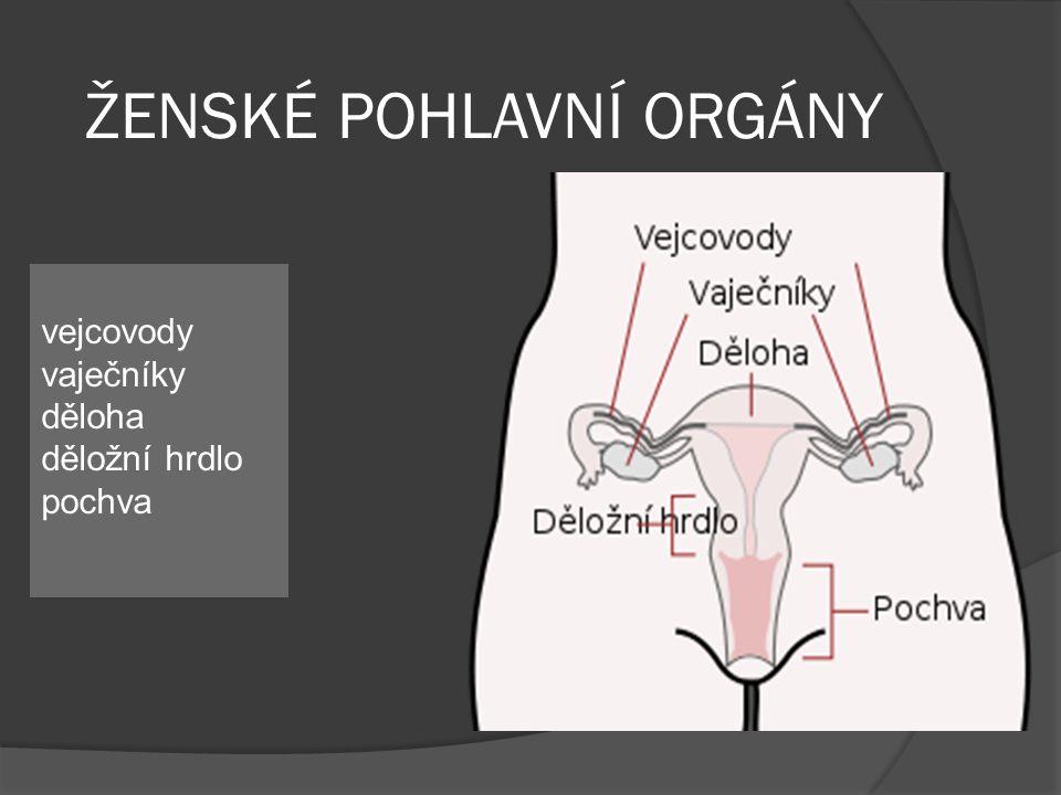 ŽENSKÉ POHLAVNÍ ORGÁNY vejcovody vaječníky děloha děložní hrdlo pochva