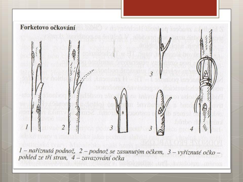2.) Roubování  Přenos roubu (výhon se dvěma s více pupeny) na podnož Rozdělení:  A) Podle místa, kde se roubování provádí:  Roubování venku na jaře, v létě (podnože zakořenělé v půdě, roubujeme převislé a kulovité tvary)  Roubování pod sklem – roubujeme na hrnkované podnože v temperovaném skleníku od února do konce dubna.