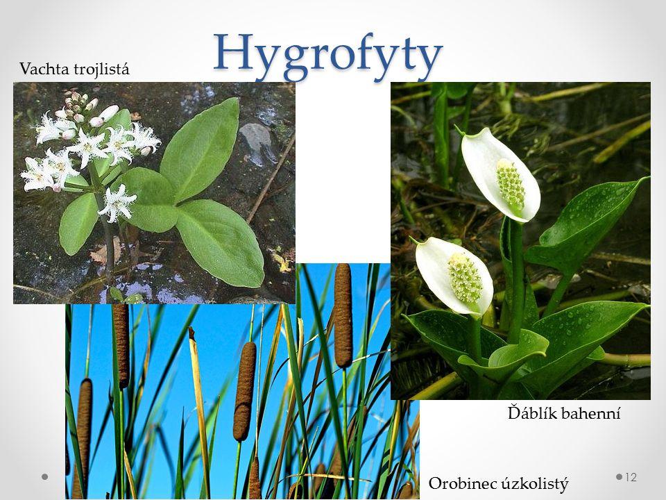 Hygrofyty 12 Vachta trojlistá Ďáblík bahenní Orobinec úzkolistý