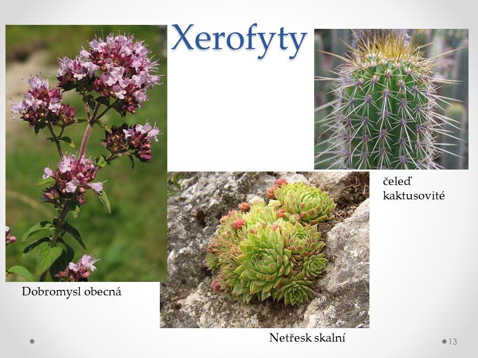 Xerofyty 13 Dobromysl obecná Netřesk skalní čeleď kaktusovité