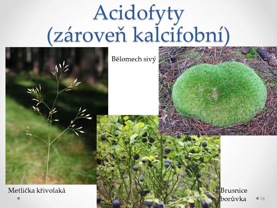 Acidofyty (zároveň kalcifobní) 16 Metlička křivolaká Bělomech sivý Brusnice borůvka