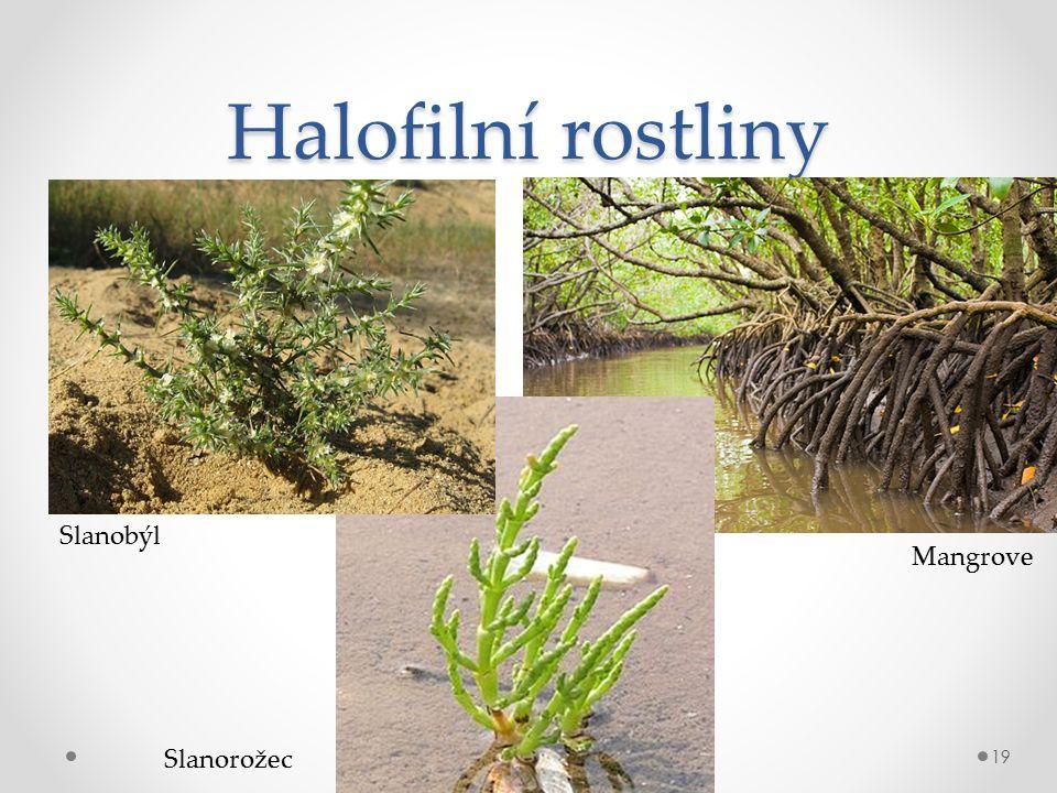 Halofilní rostliny 19 Slanobýl Slanorožec Mangrove