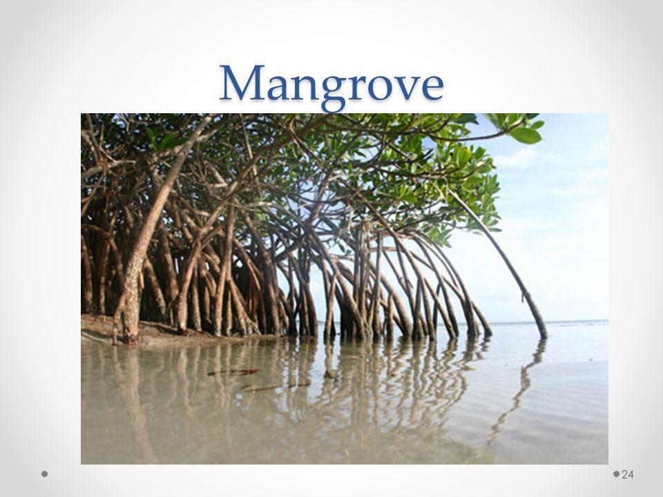 Mangrove 24