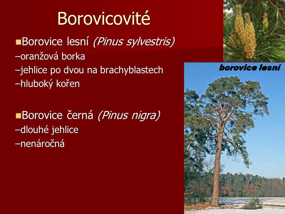 Borovicovité Borovice lesní (Pinus sylvestris) Borovice lesní (Pinus sylvestris) –oranžová borka –jehlice po dvou na brachyblastech –hluboký kořen Borovice černá (Pinus nigra) Borovice černá (Pinus nigra) –dlouhé jehlice –nenáročná borovice lesní