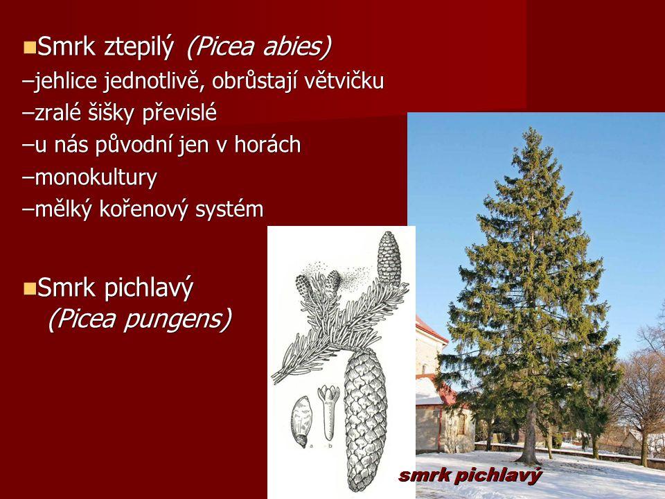 Smrk ztepilý (Picea abies) Smrk ztepilý (Picea abies) –jehlice jednotlivě, obrůstají větvičku –zralé šišky převislé –u nás původní jen v horách –monokultury –mělký kořenový systém Smrk pichlavý Smrk pichlavý (Picea pungens) (Picea pungens) smrk pichlavý