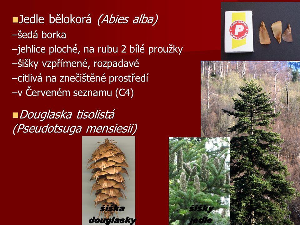 Jedle bělokorá (Abies alba) Jedle bělokorá (Abies alba) –šedá borka –jehlice ploché, na rubu 2 bílé proužky –šišky vzpřímené, rozpadavé –citlivá na znečištěné prostředí –v Červeném seznamu (C4) Douglaska tisolistá (Pseudotsuga mensiesii) Douglaska tisolistá (Pseudotsuga mensiesii) šišky jedle šiška douglasky