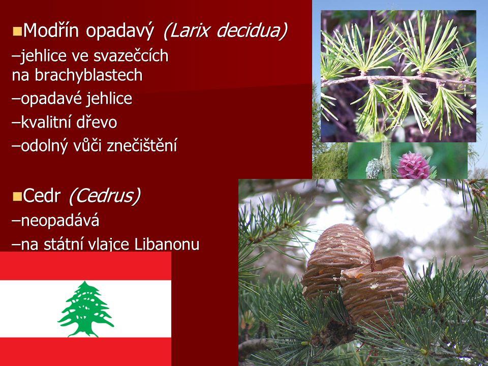 Modřín opadavý (Larix decidua) Modřín opadavý (Larix decidua) –jehlice ve svazečcích na brachyblastech –opadavé jehlice –kvalitní dřevo –odolný vůči znečištění Cedr (Cedrus) Cedr (Cedrus) –neopadává –na státní vlajce Libanonu