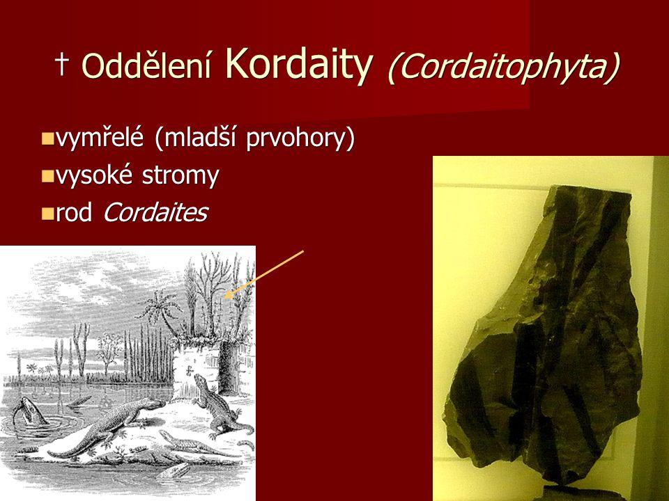 † Oddělení Kordaity (Cordaitophyta) vymřelé (mladší prvohory) vymřelé (mladší prvohory) vysoké stromy vysoké stromy rod Cordaites rod Cordaites
