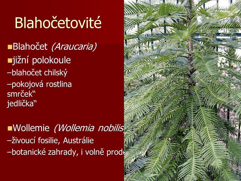 """Blahočetovité Blahočet (Araucaria) Blahočet (Araucaria) jižní polokoule jižní polokoule –blahočet chilský –pokojová rostlina """"pokojový smrček nebo """"pokojová jedlička Wollemie (Wollemia nobilis) Wollemie (Wollemia nobilis) –živoucí fosilie, Austrálie –botanické zahrady, i volně prodejná Araucaria heterophylla, pokojová rostlina Araucaria angustifolia"""