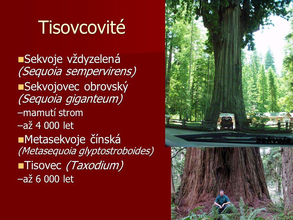 Tisovcovité Sekvoje vždyzelená (Sequoia sempervirens) Sekvoje vždyzelená (Sequoia sempervirens) Sekvojovec obrovský (Sequoia giganteum) Sekvojovec obrovský (Sequoia giganteum) –mamutí strom –až 4 000 let Metasekvoje čínská (Metasequoia glyptostroboides) Metasekvoje čínská (Metasequoia glyptostroboides) Tisovec (Taxodium) Tisovec (Taxodium) –až 6 000 let sekvoje