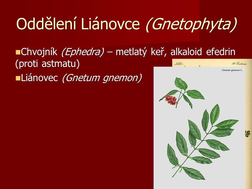 Oddělení Liánovce (Gnetophyta) Chvojník (Ephedra) – metlatý keř, alkaloid efedrin (proti astmatu) Chvojník (Ephedra) – metlatý keř, alkaloid efedrin (proti astmatu) Liánovec (Gnetum gnemon) Liánovec (Gnetum gnemon)
