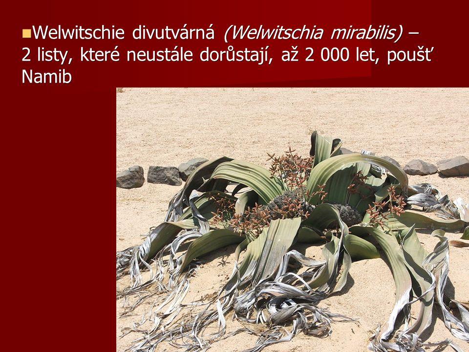 Welwitschie divutvárná (Welwitschia mirabilis) – 2 listy, které neustále dorůstají, až 2 000 let, poušť Namib Welwitschie divutvárná (Welwitschia mirabilis) – 2 listy, které neustále dorůstají, až 2 000 let, poušť Namib