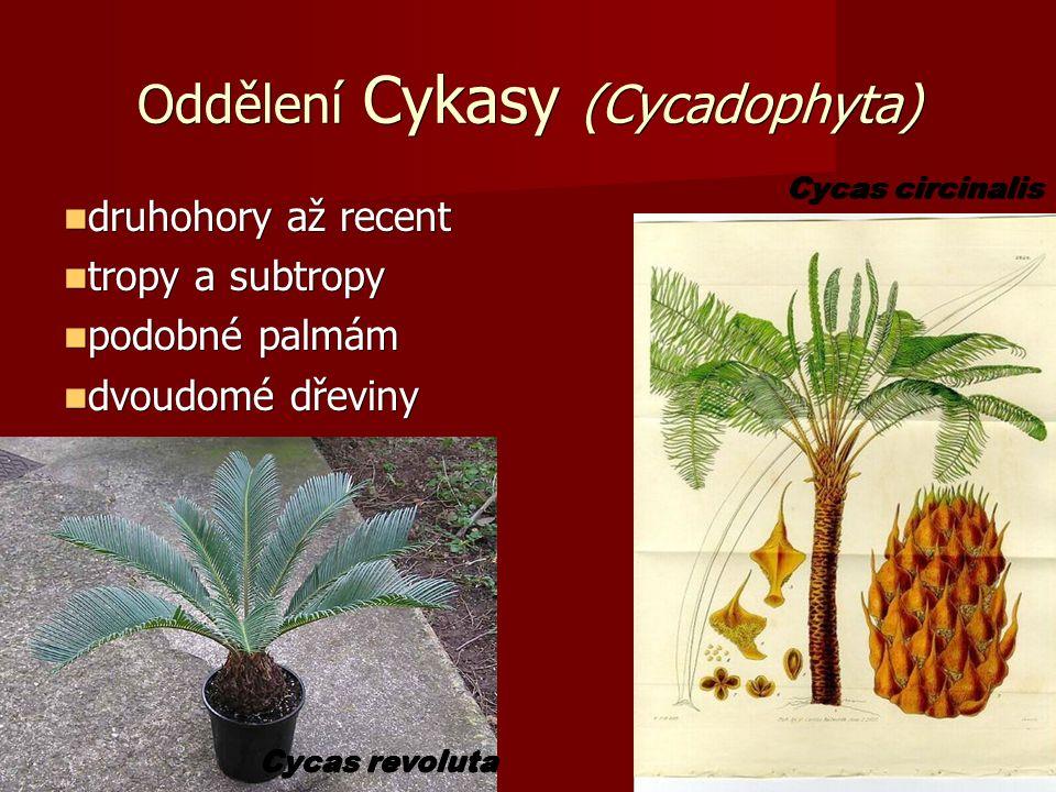 Oddělení Cykasy (Cycadophyta) druhohory až recent druhohory až recent tropy a subtropy tropy a subtropy podobné palmám podobné palmám dvoudomé dřeviny dvoudomé dřeviny Cycas revoluta Cycas circinalis
