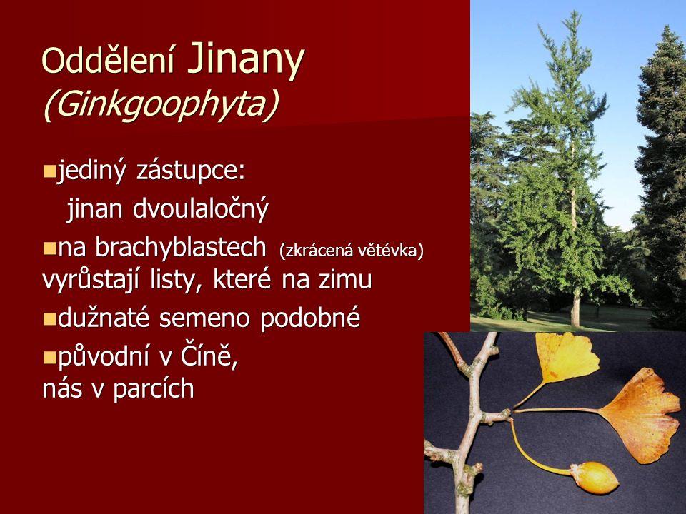 Oddělení Jinany (Ginkgoophyta) jediný zástupce: jediný zástupce: jinan dvoulaločný jinan dvoulaločný na brachyblastech (zkrácená větévka) vyrůstají listy, které na zimu opadávají na brachyblastech (zkrácená větévka) vyrůstají listy, které na zimu opadávají dužnaté semeno podobné peckovici dužnaté semeno podobné peckovici původní v Číně, u nás v parcích původní v Číně, u nás v parcích