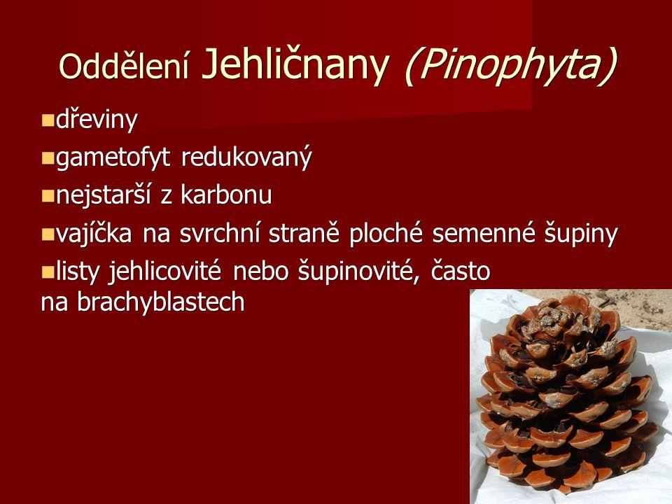 Oddělení Jehličnany (Pinophyta) dřeviny dřeviny gametofyt redukovaný gametofyt redukovaný nejstarší z karbonu nejstarší z karbonu vajíčka na svrchní straně ploché semenné šupiny vajíčka na svrchní straně ploché semenné šupiny listy jehlicovité nebo šupinovité, často na brachyblastech listy jehlicovité nebo šupinovité, často na brachyblastech