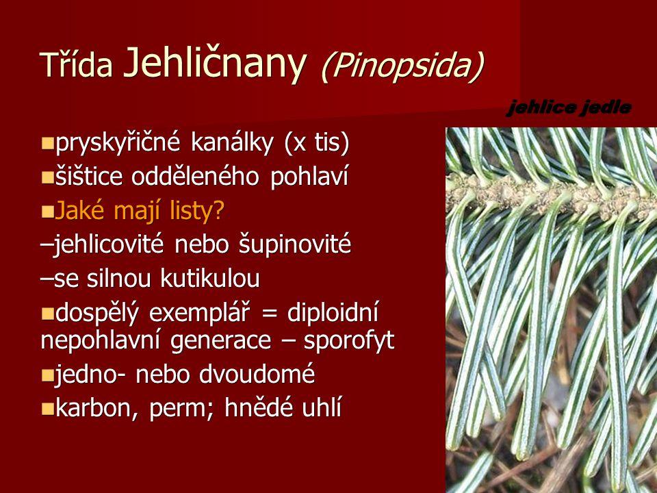 Třída Jehličnany (Pinopsida) pryskyřičné kanálky (x tis) pryskyřičné kanálky (x tis) šištice odděleného pohlaví šištice odděleného pohlaví Jaké mají listy.