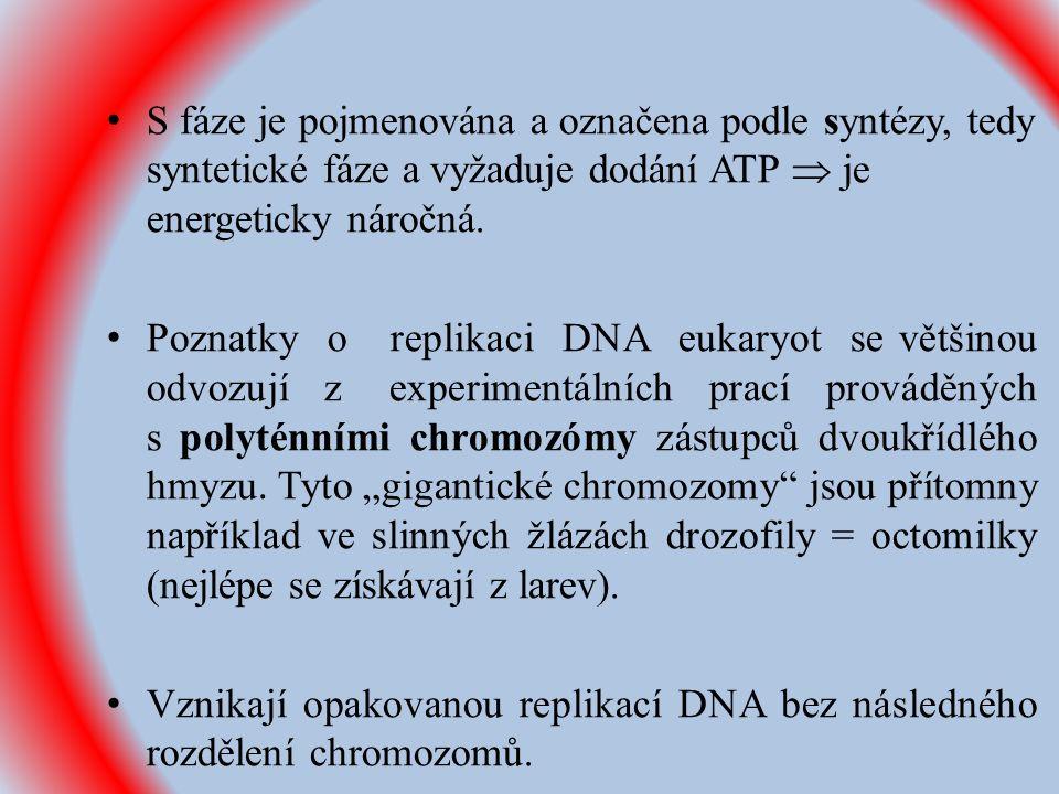 S fáze je pojmenována a označena podle syntézy, tedy syntetické fáze a vyžaduje dodání ATP  je energeticky náročná.