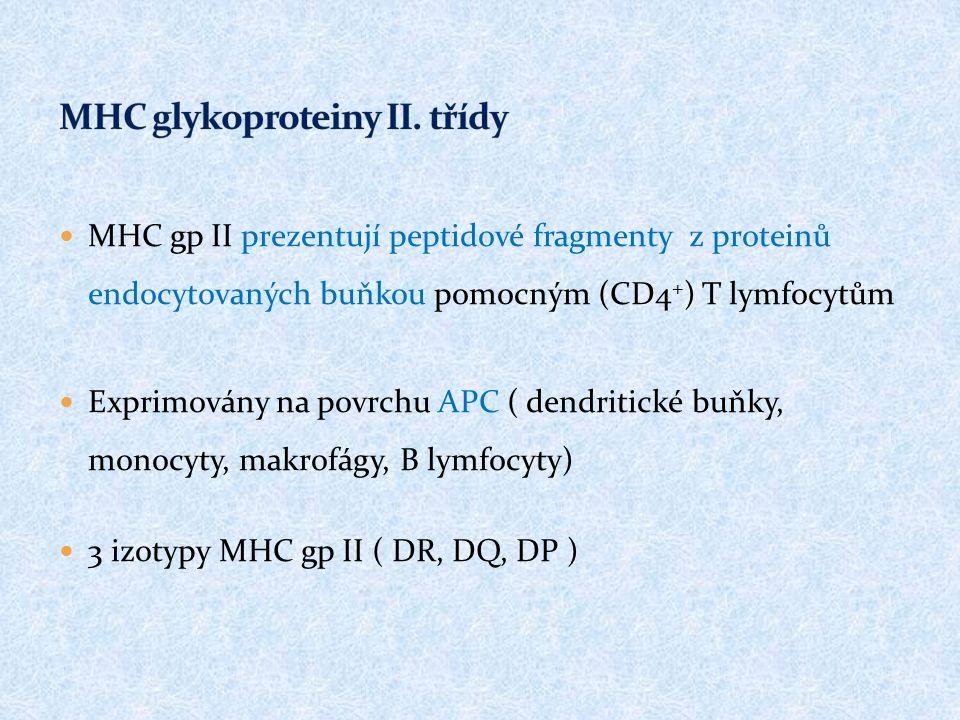 MHC gp II prezentují peptidové fragmenty z proteinů endocytovaných buňkou pomocným (CD4 + ) T lymfocytům Exprimovány na povrchu APC ( dendritické buňky, monocyty, makrofágy, B lymfocyty) 3 izotypy MHC gp II ( DR, DQ, DP )