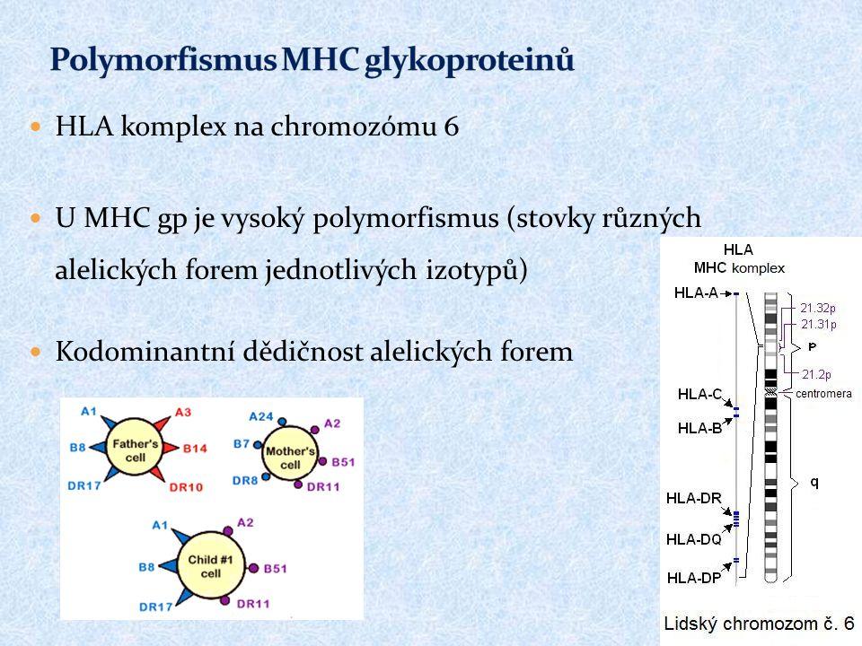 HLA komplex na chromozómu 6 U MHC gp je vysoký polymorfismus (stovky různých alelických forem jednotlivých izotypů) Kodominantní dědičnost alelických forem