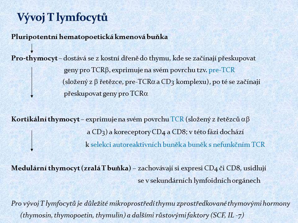 Pluripotentní hematopoetická kmenová buňka Pro-thymocyt – dostává se z kostní dřeně do thymu, kde se začínají přeskupovat geny pro TCR , exprimuje na svém povrchu tzv.