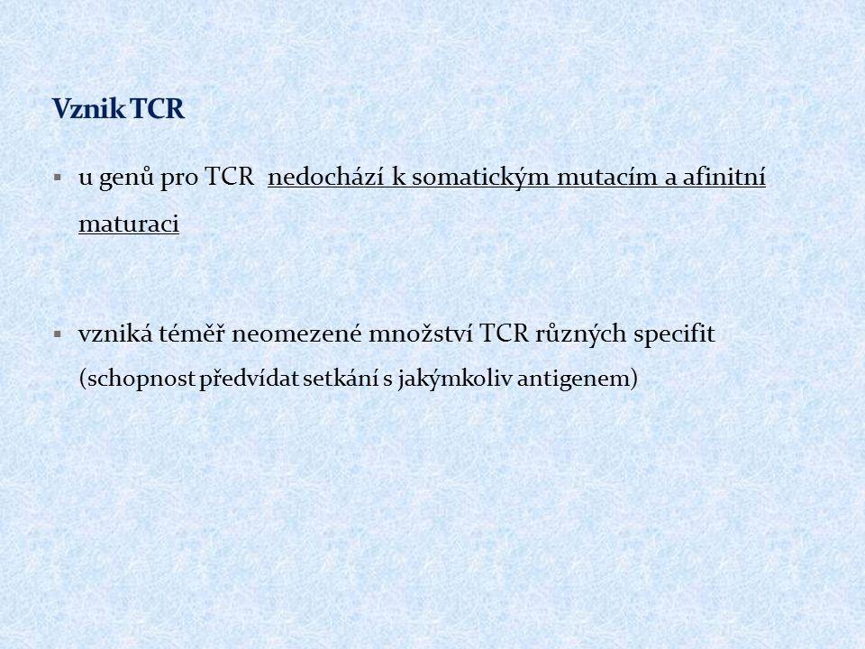  u genů pro TCR nedochází k somatickým mutacím a afinitní maturaci  vzniká téměř neomezené množství TCR různých specifit (schopnost předvídat setkání s jakýmkoliv antigenem)