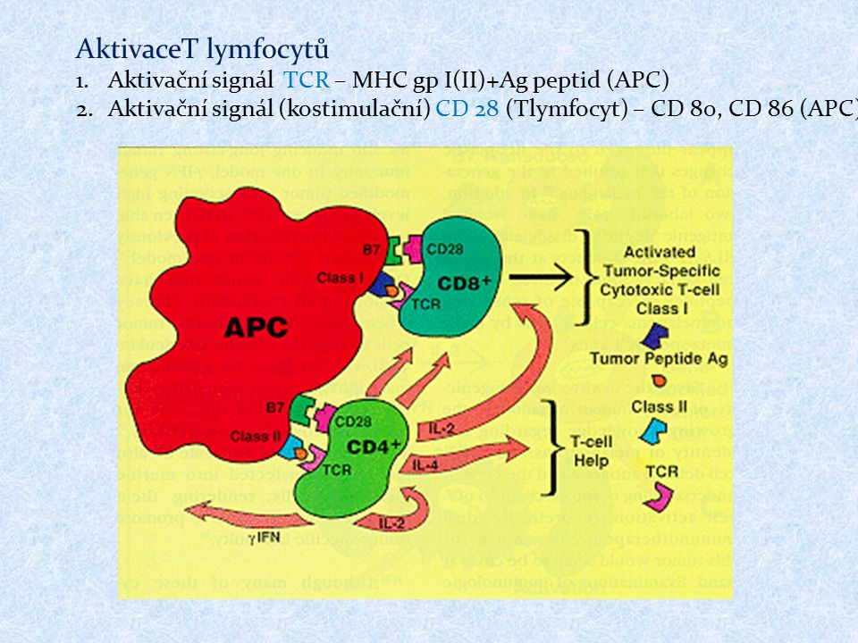 AktivaceT lymfocytů 1.Aktivační signál TCR – MHC gp I(II)+Ag peptid (APC) 2.Aktivační signál (kostimulační) CD 28 (Tlymfocyt) – CD 80, CD 86 (APC)