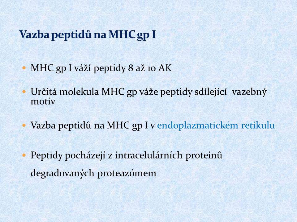 MHC gp I váží peptidy 8 až 10 AK Určitá molekula MHC gp váže peptidy sdílející vazebný motiv Vazba peptidů na MHC gp I v endoplazmatickém retikulu Peptidy pocházejí z intracelulárních proteinů degradovaných proteazómem