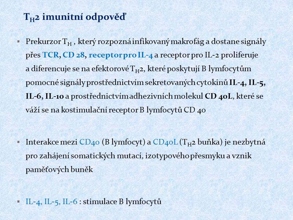  Prekurzor T H, který rozpozná infikovaný makrofág a dostane signály přes TCR, CD 28, receptor pro IL-4 a receptor pro IL-2 proliferuje a diferencuje se na efektorové T H 2, které poskytují B lymfocytům pomocné signály prostřednictvím sekretovaných cytokinů IL-4, IL-5, IL-6, IL-10 a prostřednictvím adhezivních molekul CD 40L, které se váží se na kostimulační receptor B lymfocytů CD 40  Interakce mezi CD40 (B lymfocyt) a CD40L (T H 2 buňka) je nezbytná pro zahájení somatických mutací, izotypového přesmyku a vznik paměťových buněk  IL-4, IL-5, IL-6 : stimulace B lymfocytů T H 2 imunitní odpověď