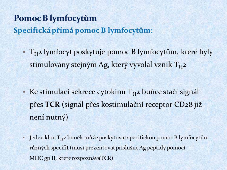 Specifická přímá pomoc B lymfocytům:  T H 2 lymfocyt poskytuje pomoc B lymfocytům, které byly stimulovány stejným Ag, který vyvolal vznik T H 2  Ke stimulaci sekrece cytokinů T H 2 buňce stačí signál přes TCR (signál přes kostimulační receptor CD28 již není nutný)  Jeden klon T H 2 buněk může poskytovat specifickou pomoc B lymfocytům různých specifit (musí prezentovat příslušné Ag peptidy pomocí MHC gp II, které rozpoznáváTCR)